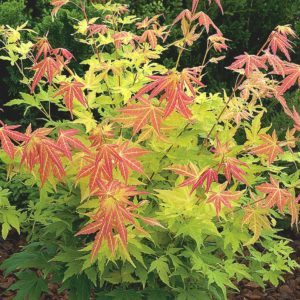Японски клен /Acer Palmatum 'Orange dream'/ 1