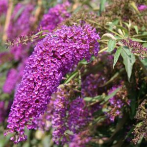 Будлея / Buddleja davidii Nanho Purple / 1