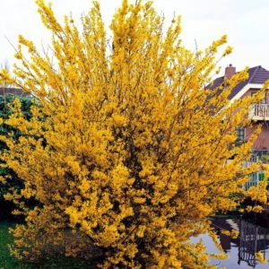 Forsythia Intermedia 'Weekend' / Форзиция / 1