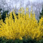 Forsythia Intermedia 'Weekend' / Форзиция / 2