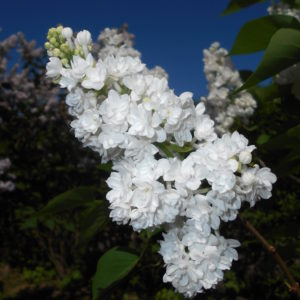 Люляк 'Мис Елън Уилмот' / Syringa Vulgaris 'Miss Ellen Willmott' / 1